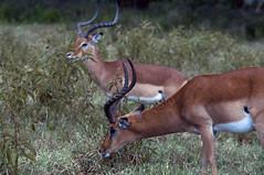 Gazelle (jhderojas) Tags: thompson gazelle kenia lake nakuru