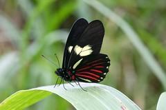 Archonias brassolis cutila (Pieridae: Pierinae: Pierini) (yakovlev.alexey) Tags: ecuador misahualli pieridae