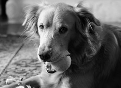 Can't touch this! (Kreative Capture) Tags: dog blackwhite bw ball animals cute fun look eyes mouth teeth play fur golden retriever pet blackandwhite monochrome animal indoor face nikkor nikon d7100