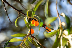 (klgfinn) Tags: autumn balga berry bokeh buckthorn landscape leaf seabuckthorn shore tree