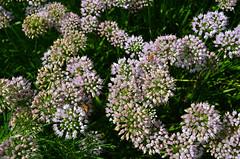 NYBG_152 (chiang_benjamin) Tags: nybg newyorkbotanicalgarden ny nyc bronx newyorkcity flowers trees arboretum plants green nature summer