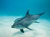 Sha'ab El Erg's resident Bottlenose dolphins (altsaint) Tags: 714mm egypt gf1 hurghada panasonic redsea bottlenose dolphin underwater