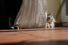 Versteckt hinter dem Vorhang (Vasquezz) Tags: katze cat sibirischekatze sibirische sibirisch siberiancat siberian сибирская кошка сибирскаякошка waldkatze forestcat fussel
