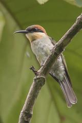 Karimganj Birds-410 - Merops leschenaulti (Vijay Anand Ismavel) Tags: chestnutheadedbeeeater meropsleschenaulti nikond800 karimganjbirds