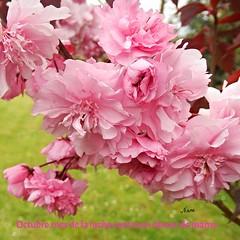 Octubre,mes de la lucha contra el cáncer de mama (nuska2008) Tags: nuska2008 cáncer nanebotas cáncerdemama luchacontraelcáncer pink rosa flores naturaleza beautiful ♡ natura garden flowers olympussz30mr flickr