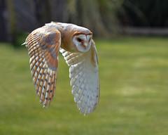 ~ Owl ~ (Ruth S Hart) Tags: owl flight bird motion movement nikond5100 uk thebistro thewonderfulworldofbirds digitalcameraclub 100commentgroup