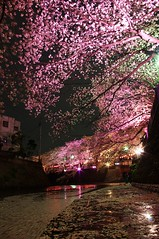 Gumyoji night sakura (runslikethewind83) Tags: life flowers trees light flower tree nature japan river cherry japanese lights petals blossom culture petal  cherryblossom  sakura yokohama         ookawa gumyoji   blinkagain