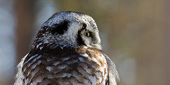Northern hawk owl (Surnia ulula) (Ronkoteus) Tags: nature canon birding 7d owl northernhawkowl canon7d