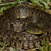 Nerodia rhombifer rhombifer - Northern Diamondbacked Watersnake