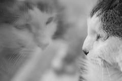 Dreamy 2 (Esther Crauwels) Tags: bw white black reflection window netherlands cat 35mm kat zwartwit sony nederland indy raam reflectie
