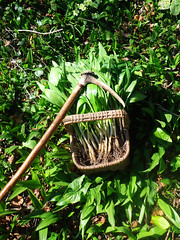 wild garlic aka ransoms. (fishfish_01) Tags: forage wildgarlic foraging ransoms bushcraft selfsufficiancy