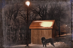 Poodle out at Night (jta1950) Tags: trees winter dog chien pet pets snow painterly texture dogs animal night lights cabin framed shed canine poodle nuit