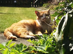 (steve p2008) Tags: pet cat garden ginger kitty puss gingerpuss