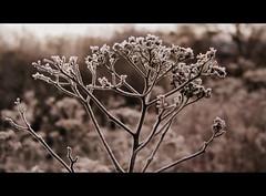 A frosty morning (Landanna) Tags: bw white black nature natur natuur zwart wit sort hvid zw naturalpattern afrostymorning