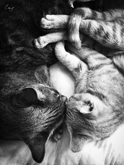 Mis ternuras (Conchilla Mrquez Gmez) Tags: cats love byn kitten amor gatos juntos blackwhitephotos unamourdechat me2youphotographylevel1