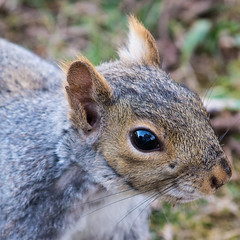 office squirrel up close (John Cecilian) Tags: closeup squirrel 14teleconverter nikond7100 nikon7020040lens