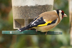 Goldfinch (DaveC55) Tags: bird garden sony goldfinch colourful a77 gardenbird nygerseed 70400g