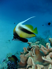 Red Sea Bannerfish (Erin Catchpole) Tags: diving jordan angelfish aqaba unerwater diveaqaba