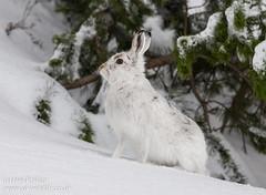 Охота на зайцев. Канада.