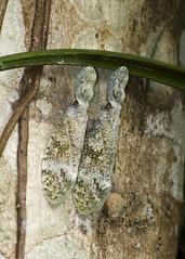 lantern bug, Fulgora laternaria (gr8dnes) Tags: strange animals bug insect belize wildlife centralamerica invertebrates lamanai orangewalkdistrict lanternbug indianchurchvillage britishhonduras undomesticatedanimals fulgoralaternaria peanutbug peanutheadbug peanutheadedlanternfly alligatorbug lamanaiarchaeoogicalreserve archaelogicalreserve themachaca thealligatorheadedlanternfly enlargedforeheads noseishollow headlookslikeanunshelledpeanut bugreleasesaskunklikespraytodefenditself