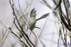 La partenza del lu piccolo [Explored] (_milo_) Tags: italy bird canon eos italia flight volo tamron oiseau uccello oasi 70300 angera 60d phylloscopustrochiloides bruschera