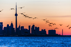 Coming home (Greg David) Tags: lake toronto skyline sunrise cormorants lakeshore lakeontario torontoskyline lakesunrise lakeshorevillage lakeontariosunrise