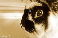 I am looking at you... (Pinkiwinki06) Tags: she pet rabbit bunnies look animal sepia peace looking sony ojos kira angora dslr mirada mascota leire a37