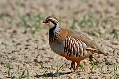 Partridge Red legged checking the spring wheat 21.4.2013 (1) (Margaret the Novice) Tags: partridges avianexcellence