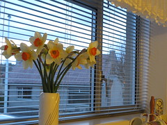 More daffs on the window ledge! (ShelaghW) Tags: nature gardens scotland spring seasons mygarden myhome daffodils springtime containers containergardening windowledges shelaghw