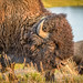 Buffalo of Yellowstone 2012.09.05 - 2.jpg
