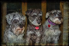 Three Amigos  Part 2 (jta1950) Tags: portrait dog chien pet pets painterly cute texture dogs animal beard three adorable canine schnauzer miniatureschnauzer dogportrait lenabemanna
