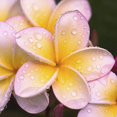 happy earth day!!! (_aires_) Tags: macro canon droplets drops plumeria bokeh aires 100mm gotas frangipani abundance suche limaperu 50d ires attheendoftheday canoneos50d canon50d imagesforthelittleprince redmatrix canonef100mmf28lmacroisusm blinkagain