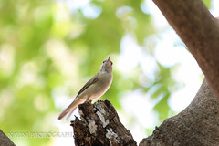 (nalinib) Tags: tree bird backyard commonbirds