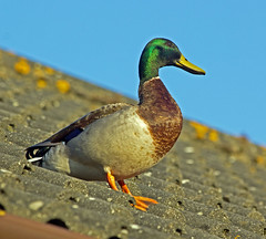 duck on a hot tin roof (explored) (Dawn Porter) Tags: nature duck somerset