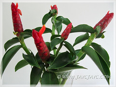 Costus woodsonii as cut flowers in a vase (jayjayc) Tags: red orange plant flower green leaves malaysia kualalumpur cutflowers tropicalgarden costuswoodsonii scarletspiralflag jjsgarden jayjayc redbuttonginger redcane panamaniancandleginger dwarfconeginger