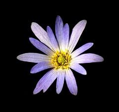 Fading violet (Explore) (Good Nature One) Tags: flower macro nature yellow closeup petals violet petal exotic tropical bloom solitary solitaryviolet