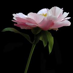 Peony P1 (Pixel Fusion) Tags: flower nature flora nikon ngc peony npc doublefantasy d600 flowerthequietbeauty