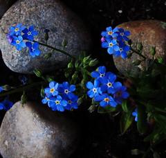 Small blue flowers (Sappho et amicae) Tags: flowers blue detail nature canon flora rocks small sappho mygearandme mygearandmepremium mygearandmebronze mygearandmesilver
