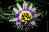 Fleurs des fruits de la passion (Francois el Bacha) Tags: nature fruit passion crépuscule coucherdusoleil jounieh fruitdelapassion