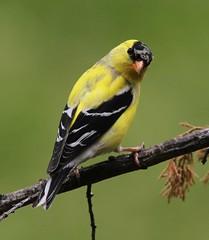 American Goldfinch, male (AllHarts) Tags: nature ngc npc spac maleamericangoldfinch hollyspringsms awesomebirds naturesspirit feathersandbeaks naturescarousel stunninganimalsandbirds ourwonderfulandfragileworld