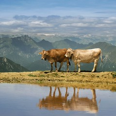 The highest mountain activity is dairy farming of cows (Bn) Tags: camera blue summer sky italy panorama mountain lake holiday mountains alps pool smile car cheese trekking reflections garden walking polaroid milk italian garda rocks europe strada mediterranean italia photographer lift view cows hiking path altitude flight cable ridge liftoff primo edge panoramica tandem elevated peaks milka viewpoint fiore higher topf100 walkers mont thermal climate breathtaking malcesine cowbell paragliders gardameer baldo dairycow 100faves panview 2218m