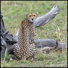 Attentive Mother! (MAC's Wild Pixels) Tags: kenya ngc cheetah cubs masaimara cheetahcub coth specanimal fantasticnature simplysuperb maratriangle alittlebeauty canonef400mmf28lis naturesharmony femalecheetah coth5 naturesgreenpeace allnaturesparadise allofnatureswildlifelevel1 macswildpixels