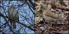 Song Thrush - first and second sightings (Sergei Golyshev) Tags: bird campus university natural state russia song moscow birding reserve msu telephoto mavis thrush territory gory turdus throstle   philomelos     vorobevy  zakaznik