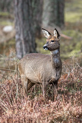 Woodland Roe Deer (L.Y.L.E) Tags: forest woodland scotland wildlife deer roe roedeer scottishwildlife
