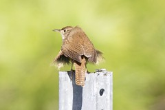House wren (Henry McLin) Tags: