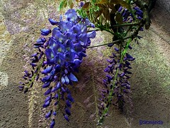 glicine sul muro (solonanda on/off) Tags: flowers flower fiori glicine rememberthatmomentlevel4 rememberthatmomentlevel1 rememberthatmomentlevel2 rememberthatmomentlevel3