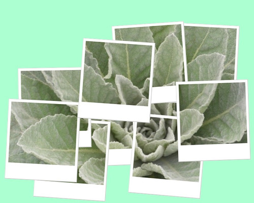 Mullein According to Hockney