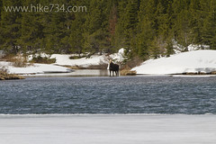"""Moose • <a style=""""font-size:0.8em;"""" href=""""http://www.flickr.com/photos/63501323@N07/8713121106/"""" target=""""_blank"""">View on Flickr</a>"""