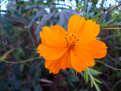 Na beira da estrada (jean carlos dias) Tags: orange flower macro planta beautiful natureza flor lindo
