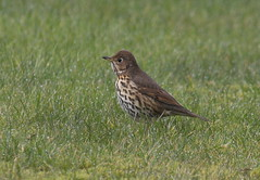 thrush in grass (scouser185) Tags: birds thrush gardenbirds